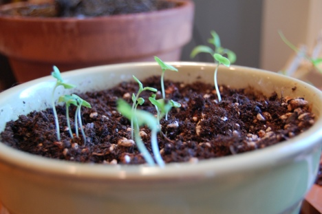 Basil seedlings - The beginnings of something good