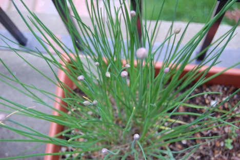 Chives, ready to bloom, came up from last year