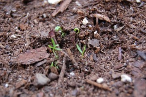 parsley just starting to peek out